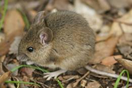 House-Mouse-1-261x174 Commensal Rodents