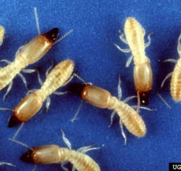 Subterrenean-termites-e1492879228161-370x350 SERVICES