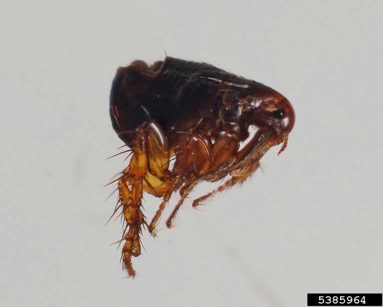 Fleas-1 Fleas
