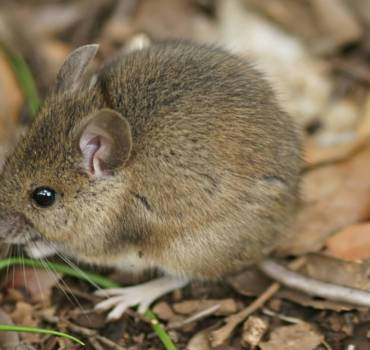 House-Mouse-1-370x350 SERVICES